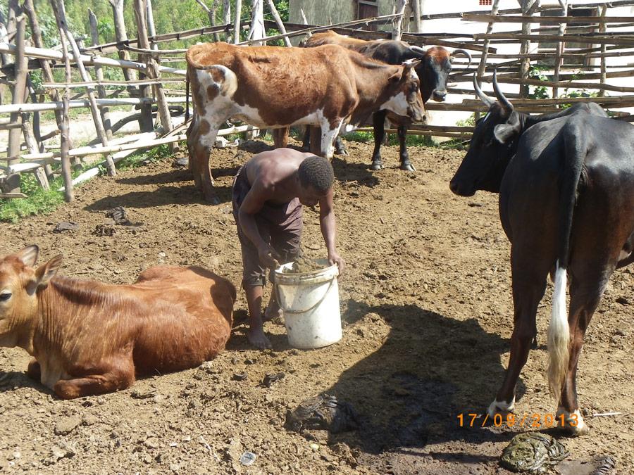 biogas cow - photo #20